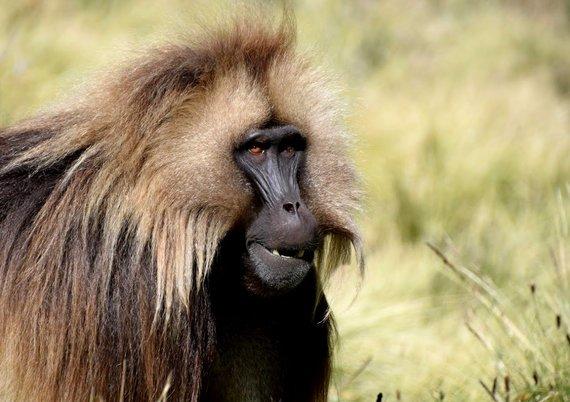 """Kelionių organizatoriaus """"GRŪDA"""" nuotr. /Gelada babuinai"""