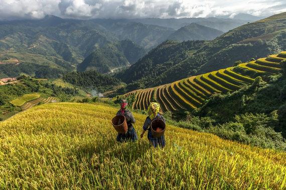 123RF.com nuotr./Ryžių augintojai Vietname, YenBai regione