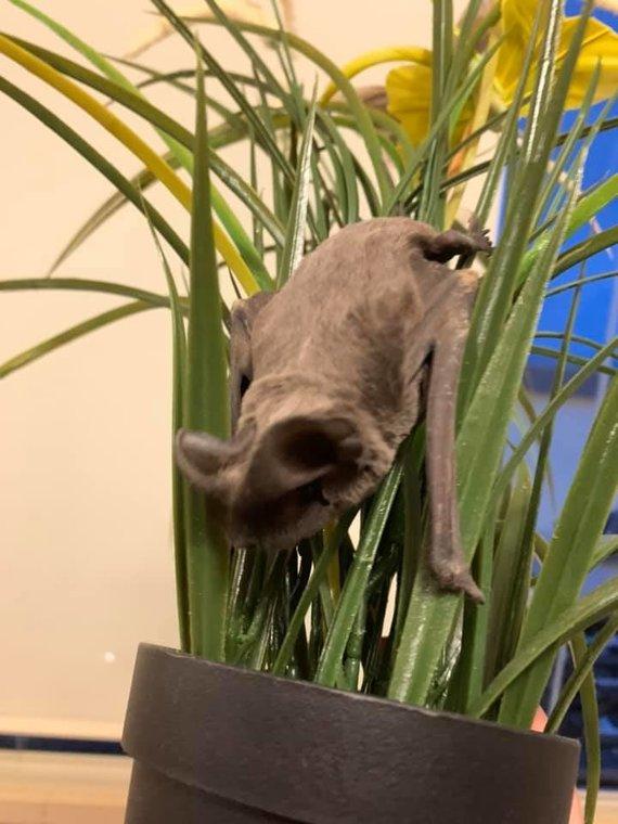 Skaitytojos nuotr./Į Jolitos namus įskridęs šikšnosparnis slėpėsi gėlėje.