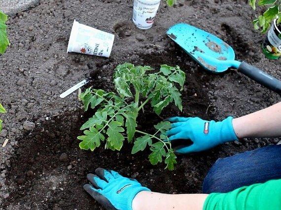Linos Liubertaitės nuotr. /Pasodinus pomidorą reikia padaryti apie jį nedidelį kalniuką, kad laistant vanduo neišbėgtų į šonus.