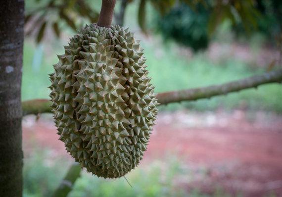 123RF.com nuotr./Duriano vaisius, kurio skonio saldainiai yra gaminami