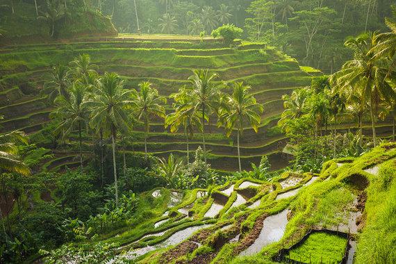 Shutterstock nuotr./Tegalalang ryžių terasos, Balio sala, Indonezija