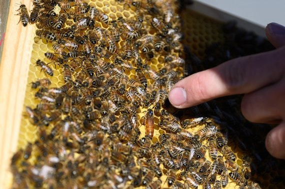 Bees on Green Hall 2