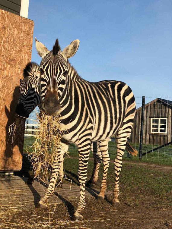 Asmeninio albumo nuotr./Zebrai sugeba prisitaikyti ir prie lietuviško klimato