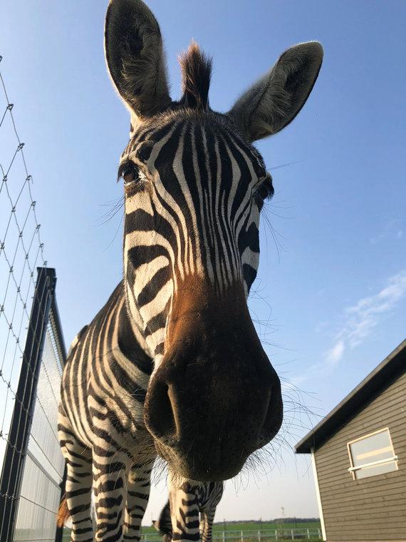 Asmeninio albumo nuotr./Zebrai – žaismingi žinduoliai