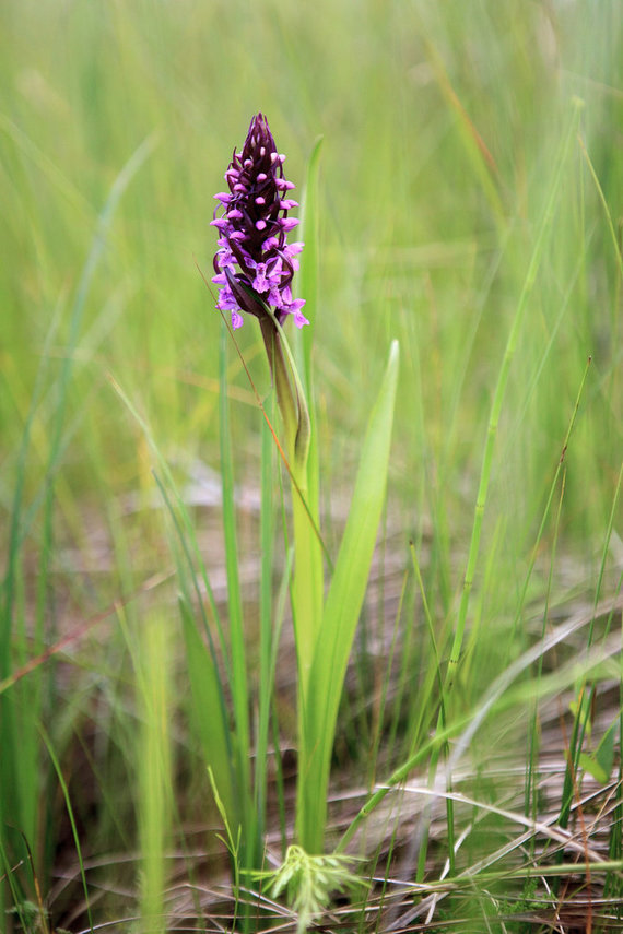 Ž.Morkvėno nuotr./Lietuviškoji orchidėja – raudonoji gegūnė