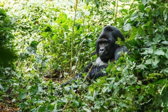 123rf.com /Gorila Ugandoje