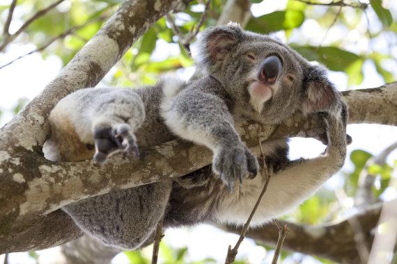 123rf.com nuotr./Besiilsinti koala Australijoje