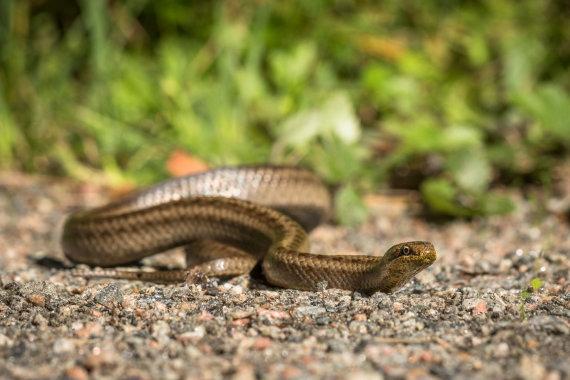 123RF.com nuotr./Gyvatė