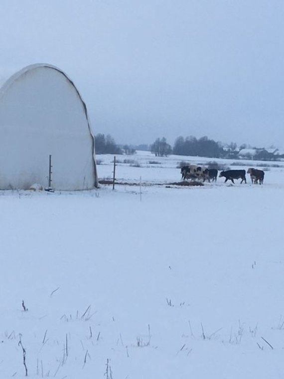 15min skaitytojo nuotr./Žiemą Kaišiadorių rajone besiganantys gyvuliai