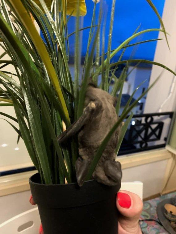 Skaitytojos nuotr./Į kaunietės namus įskridęs šikšnosparnis slėpėsi gėlėje.