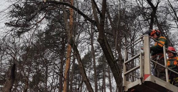 Be protesto akcijų: saugodami elektros liniją paaukojo ne dešimtis medžių, o vieną pušį
