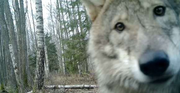 Nušovus 120 vilkų, nutraukiamas jų medžioklės sezonas