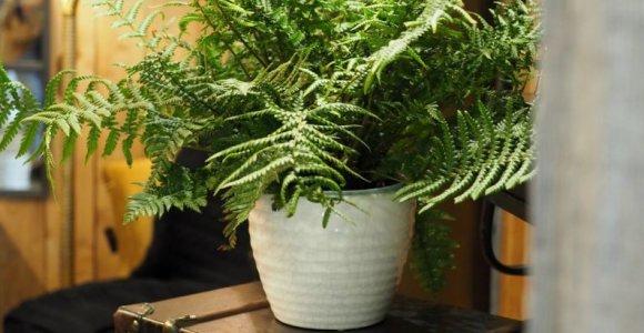 Interjero naujovės: madingiausių kambarinių augalų dešimtukas