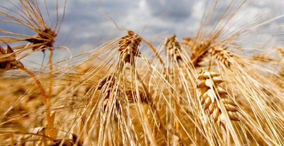 Lietuvos grūdų eksportas gruodį augo 2,7 karto