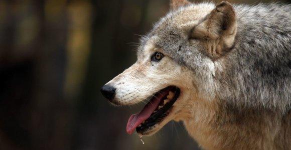 Sužinojusi, kad augina ne šunį, o vilką, moteris nebegali jo nei pamatyti, nei atgauti