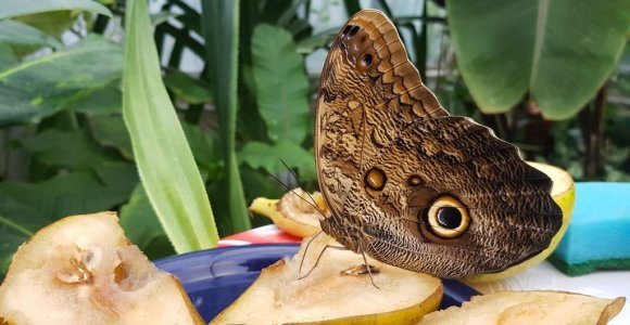 Sėkminga metamorfozė: VDU botanikos sode sparnus išskleidė drugelis pelėda