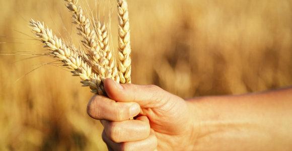 Rusija padidino grūdų derliaus prognozę
