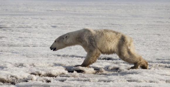 Rusijos kaimo ramybę sudrumstė dešimtys poliarinių lokių: gyventojus privertė slėptis namuose
