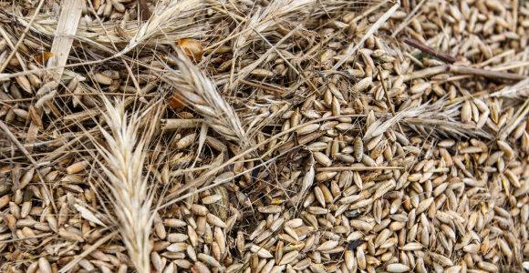 FAO prognozė: grūdų derlius pasaulyje 2019 metais pasieks rekordą