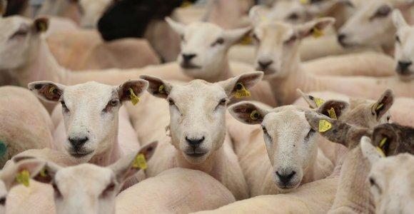 Neringos gyventojams parkas siūlys įsigyti avis ir ožkas