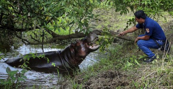 Meksikoje pagautas laisvėje klaidžiojęs hipopotamas Taisonas