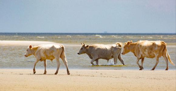 JAV per audrą į jūrą nuneštos karvės išsigelbėjo, nuplaukusios daug kilometrų