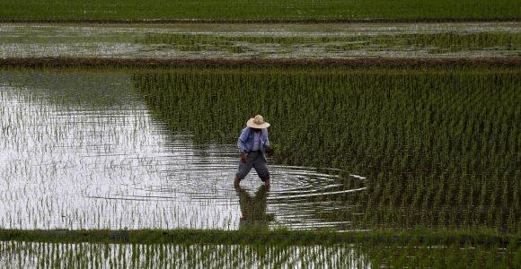 Pasakoja, kaip atpažinti padirbtus ryžius, bet ar tokių būna?