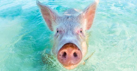 Kodėl Bahamų salose galima išvysti plaukiojančias laukines kiaules?