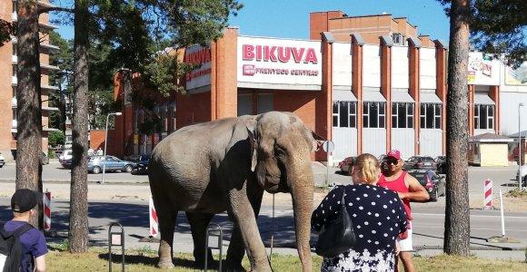 Lietuvoje viešinčiam čekų cirkui uždrausta pasirodymuose rodyti dramblį