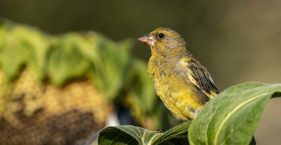 Selemonas Paltanavičius: paukščius vilioja saulėgrąžos