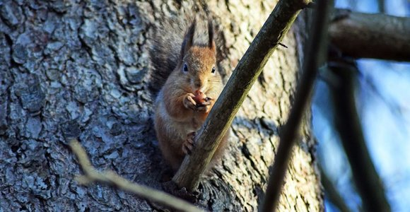 Paprastoji voverė