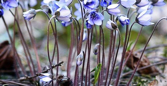 Ryškiaspalvės pavasario gėlės – žibuoklės