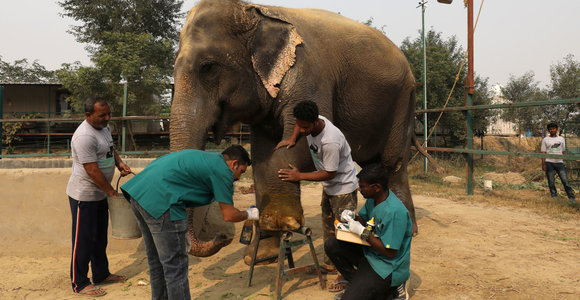 Išnaudoti ir sužaloti drambliai Indijoje bus gydomi pirmojoje šalyje jiems skirtoje ligoninėje