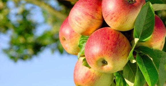 Obuolių derlius toks prastas, kad nėra iš ko spausti sulčių