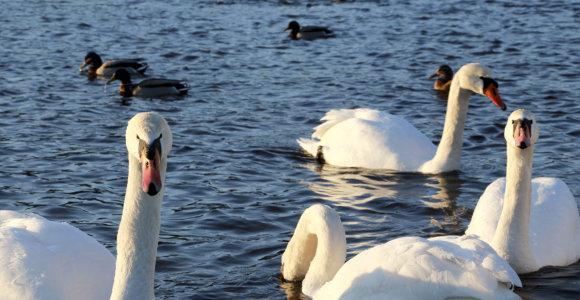 Žemaitijos nacionalinis parkas kviečia stebėti žiemojančius paukščius