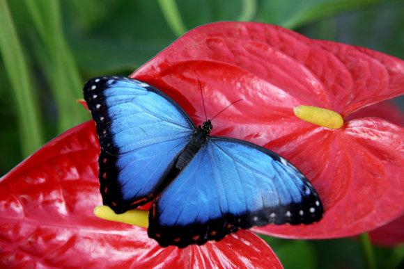 Eriko Ovčarenko/15min.lt nuotr./Tropiniai drugeliai
