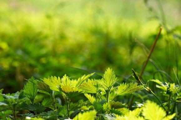 Thomas Dahms, Flickr.com/Pavasarinės dilgėlės