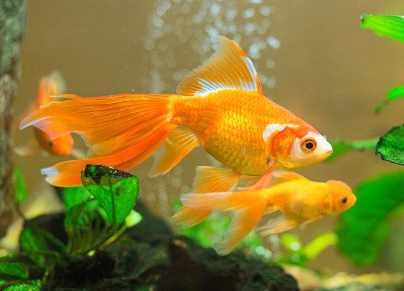 Fotolia nuotr./Akvariumo žuvis.