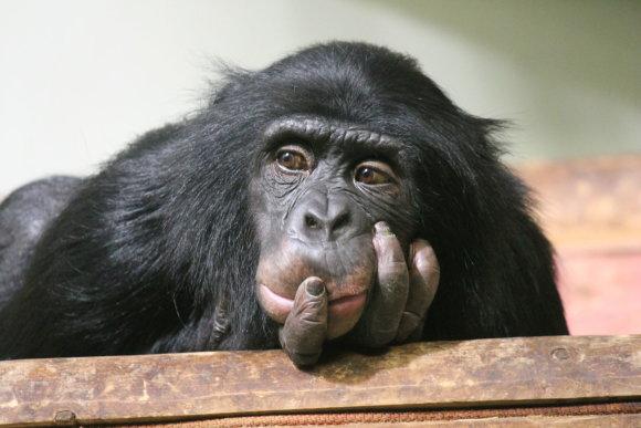 123rf.com nuotr./Šimpanzė