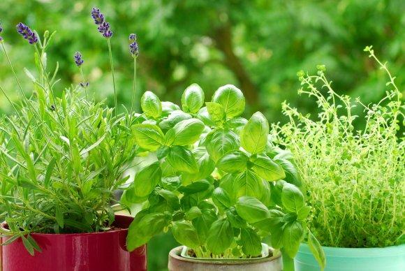 123RF.com nuotr./Priekoniniai augalai