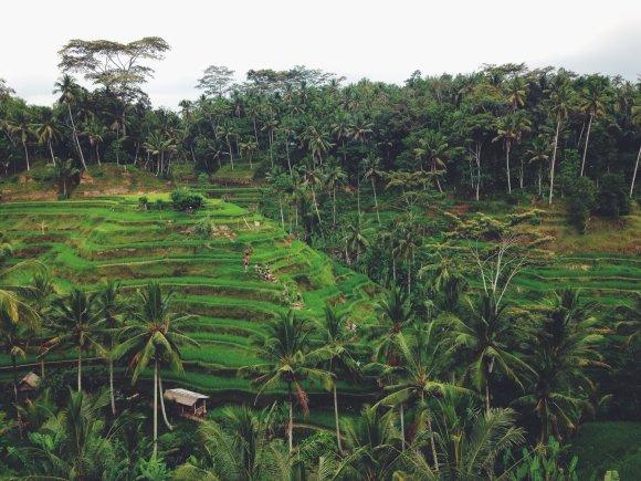 Asmeninio albumo nuotr./Ryžių terasos prie Ubudo, Balyje, Indonezijoje