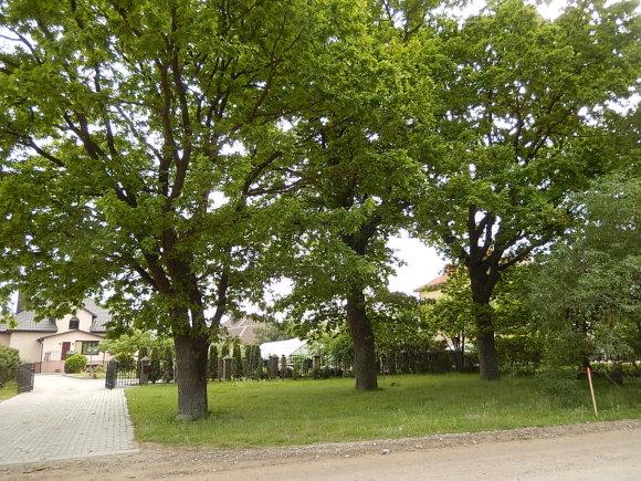 D.Botyriaus nuotr./Akmenų gatvėje metų metus žaliavo ąžuolai