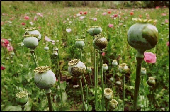 """""""Scanpix"""" nuotr./Afganistano aguonų laukai"""