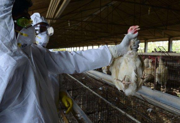 """AFP/""""Scanpix"""" nuotr./Indijos vištų fermoje aptiktas paukščių gripo virusas."""