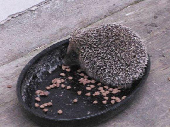 Asmeninio archyvo nuotr./Vido sodyboje iš dubenėlio laukinis ežiukas ėda kačių maistą, o sodybą sergintys katinai ant jo nepyksta
