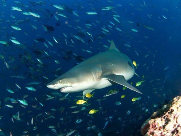Wira Wijoga nuotr./Madagaskarinis aštriadantis ryklys, Bengos saloje