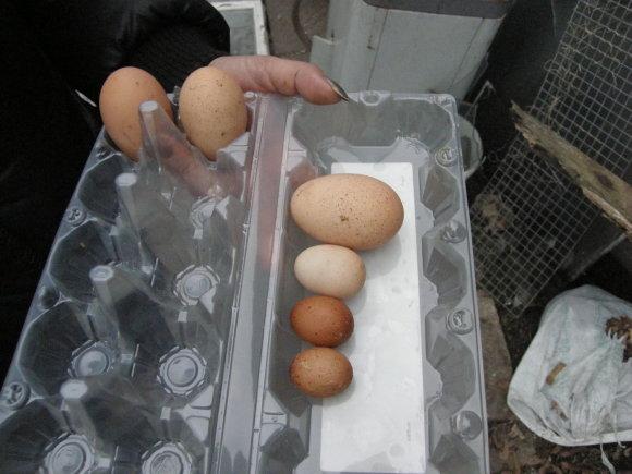 Sauliaus Tvirbuto/15min.lt nuotr./Kaunietės višta sudėjo labai mažus kiaušinius