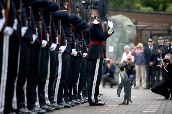 """""""Scanpix""""/""""PA Wire""""/""""Press Association Images"""" nuotr./Karališkasis pingvinas seras Nilsas Olavas"""