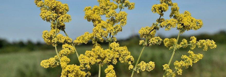 Lietuvoje auganti žolė, ant kurios greičiausia gimdė šv. Marija: gerina skydliaukės veiklą, gydo depresiją
